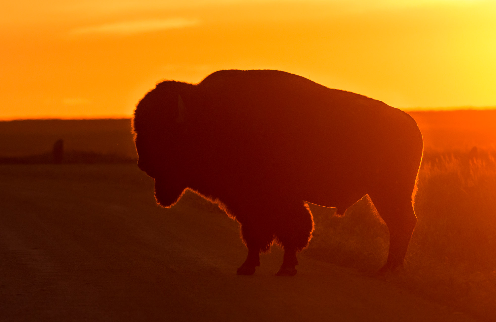 Bison at sunset - Badlands National Park, South Dakota
