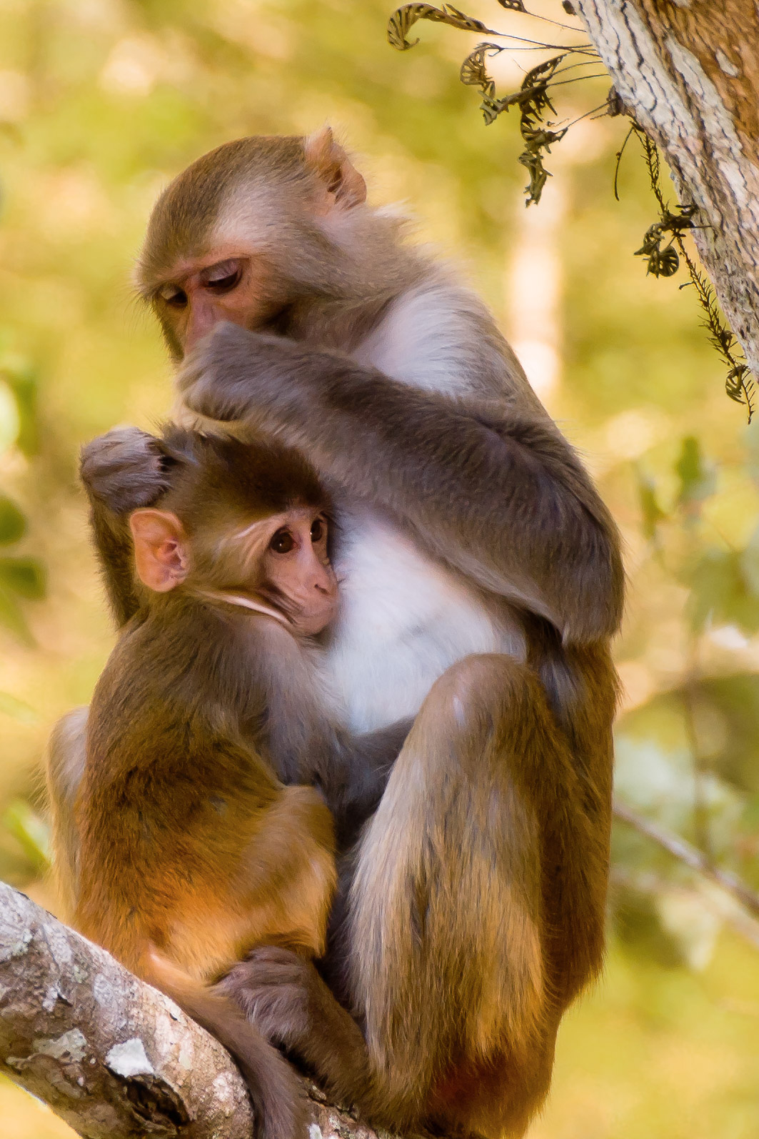 Rhesus Macaque grooming infant - Silver Springs River, Florida