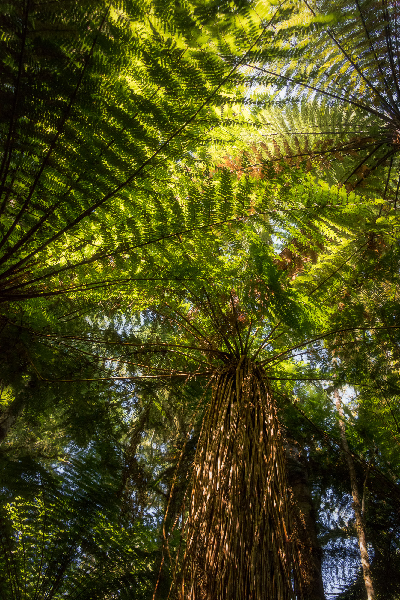 Tree fern forest - Roaring Billy Falls Trail, New Zealand