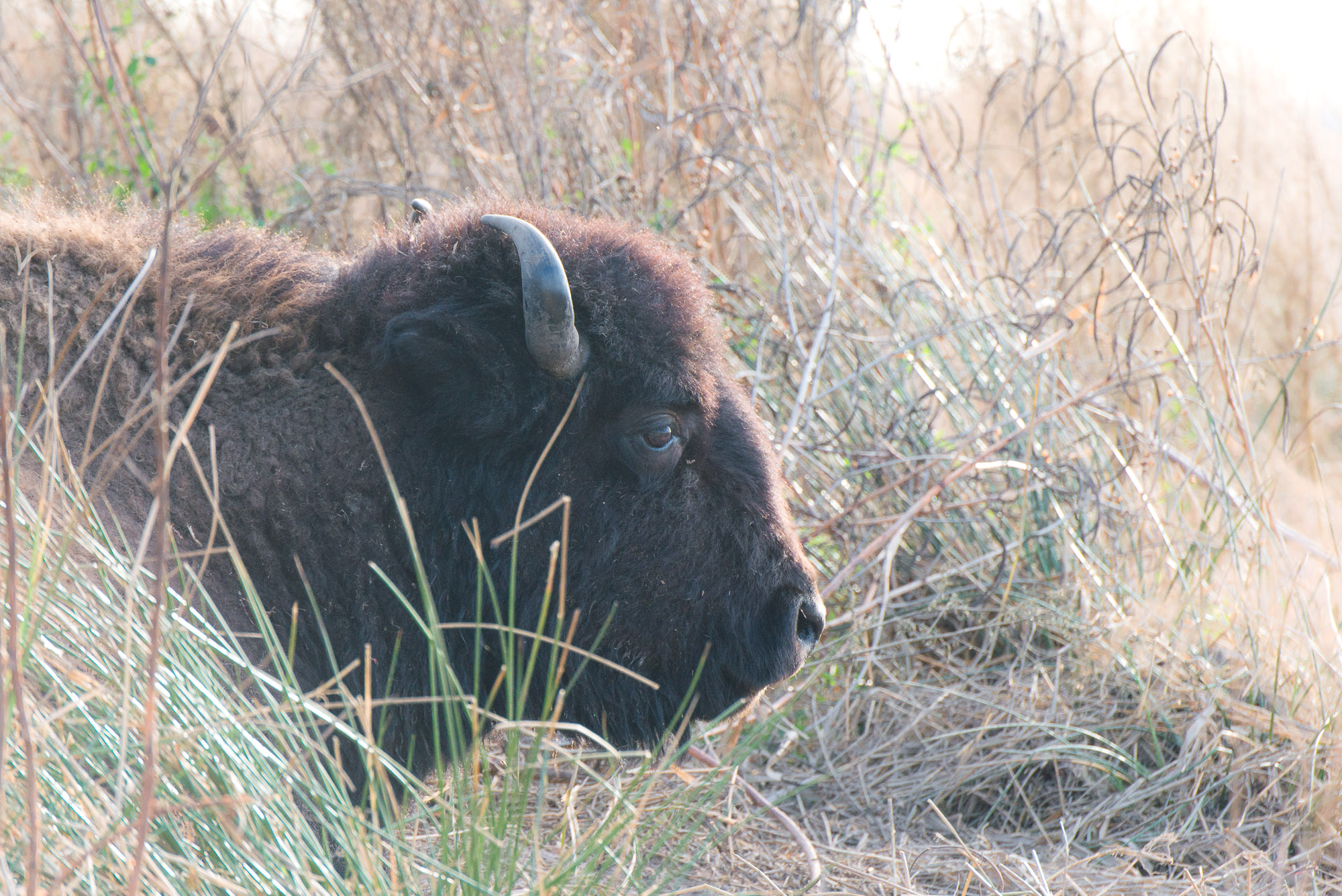 Bison lying in dry grass - Paynes Prairie State Park, Florida