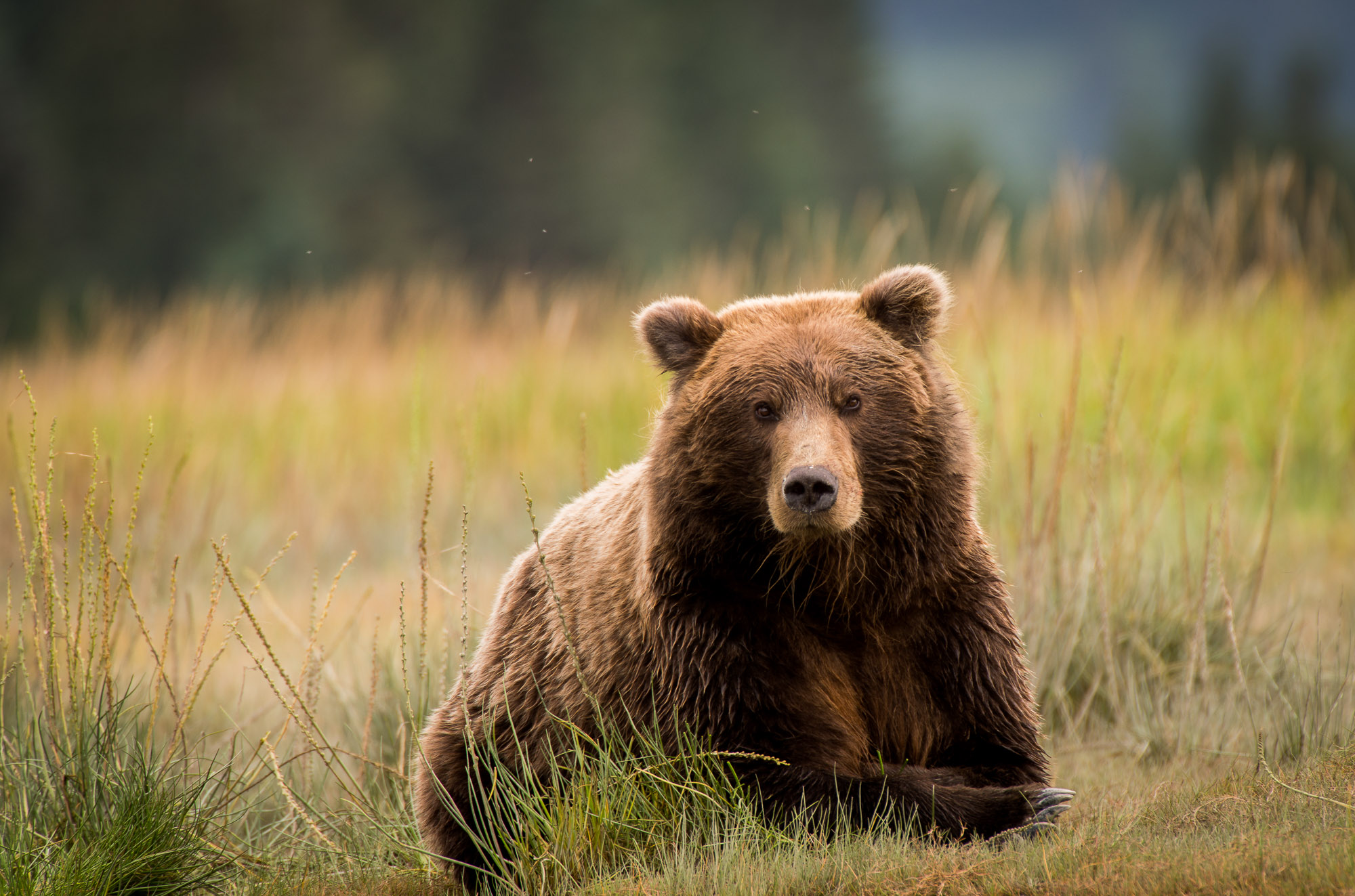 Coastal Brown Bear - Lake Clark National Park, Alaska