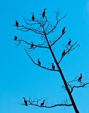 Double-crested Cormorants in tree - Lower Suwannee National Wildlife Refuge, Florida