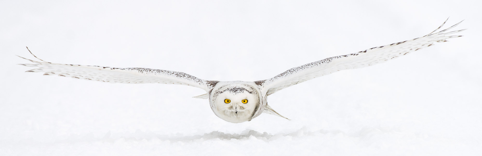 Snowy Owl flying over snow - Stayner, Ontario, Canada