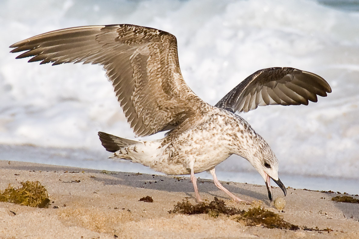 Gull exhibiting drop-catch behavior - Lauderdale-by-the-Sea, Florida