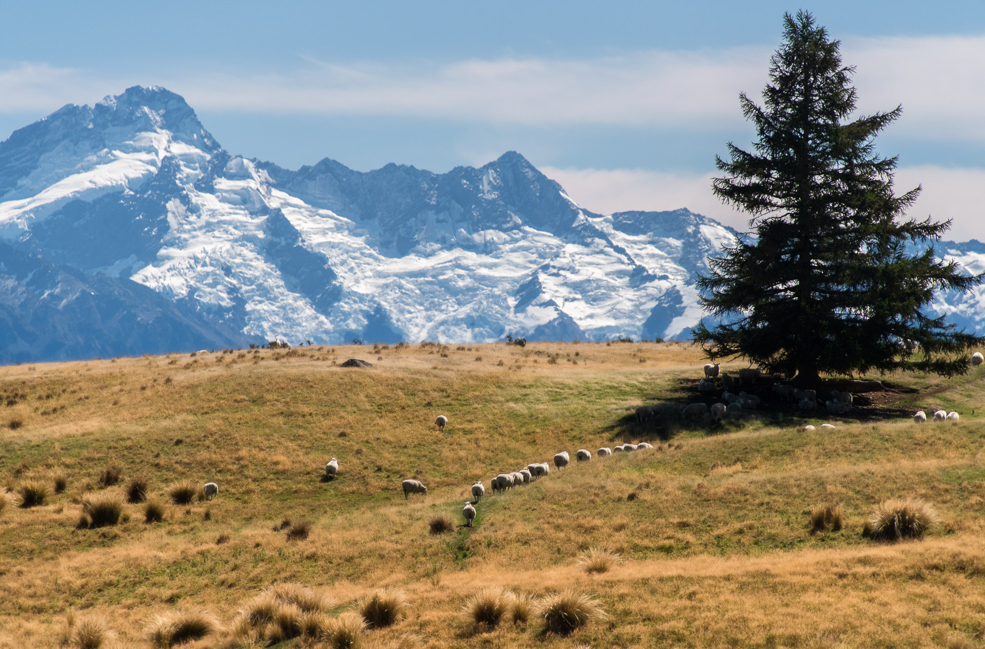 Mount Sealy and sheep - Southern Alps, New Zealand