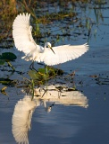 Snowy Egret chasing fish - Kissimmee Prairie Preserve State Park, Florida