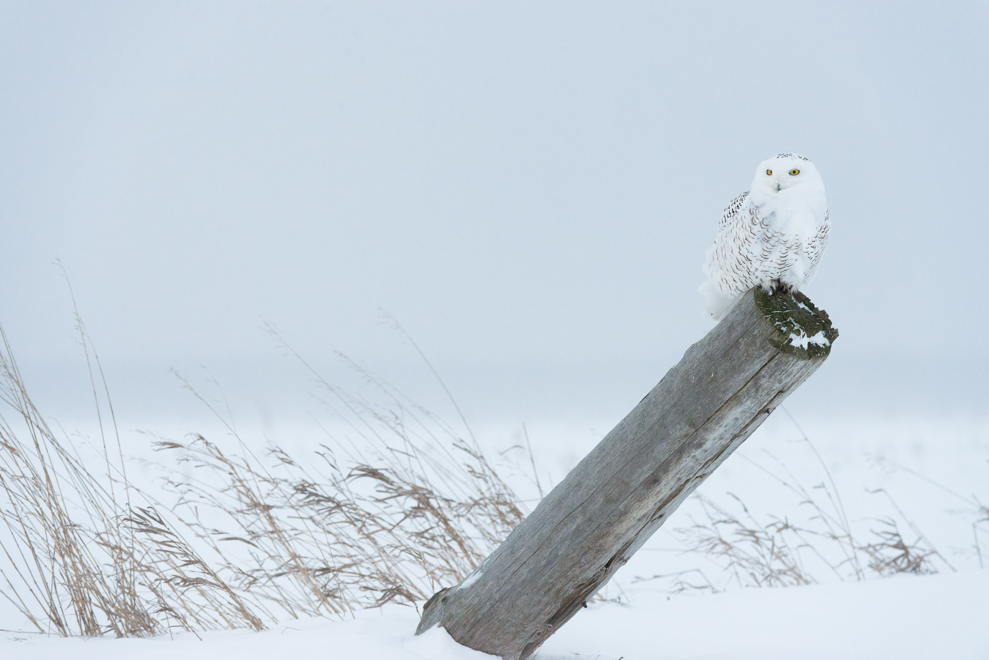 Snowy Owl on fence post - Stayner, Ontario, Canada