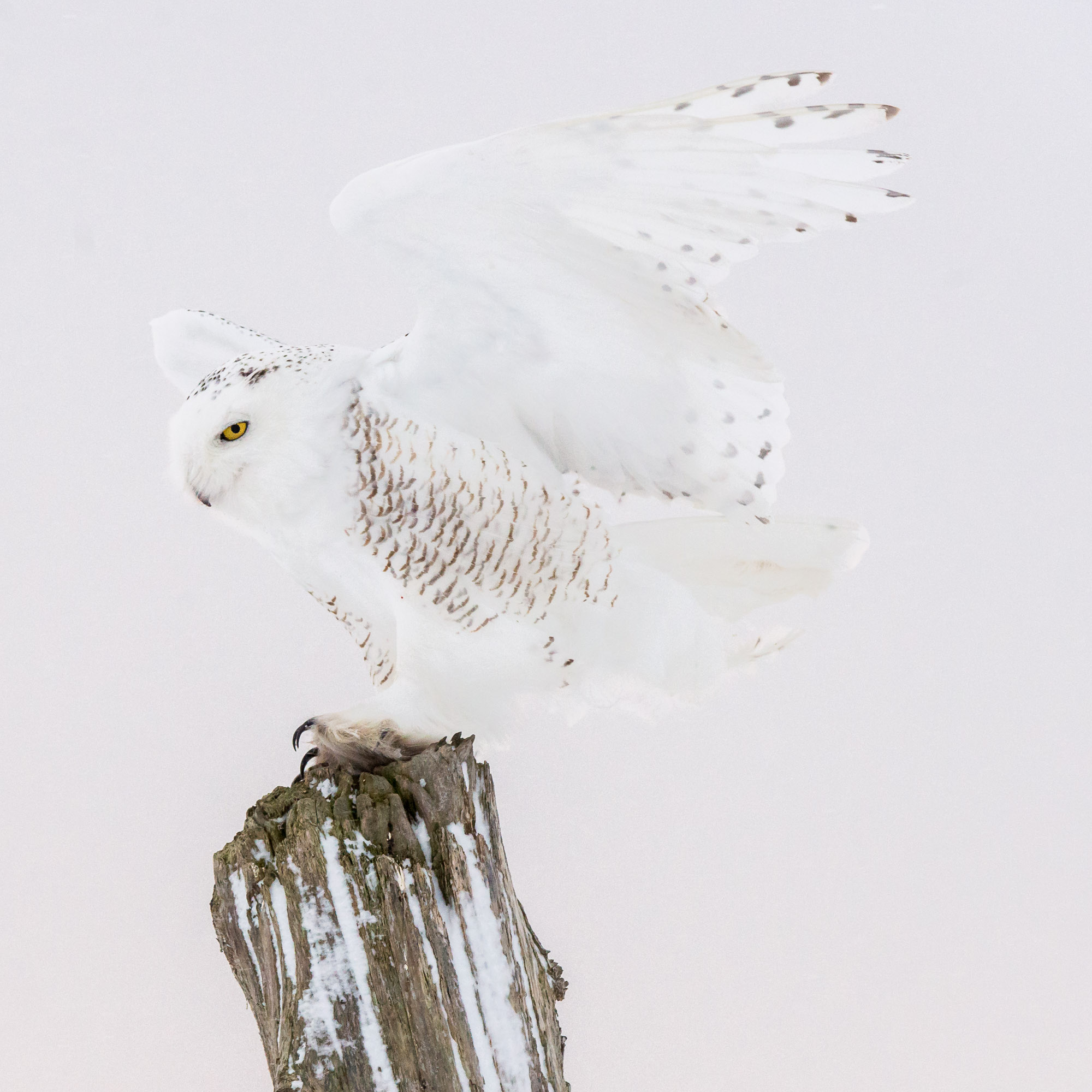 Snowy Owl landing on fence post - Stayner, Ontario, Canada