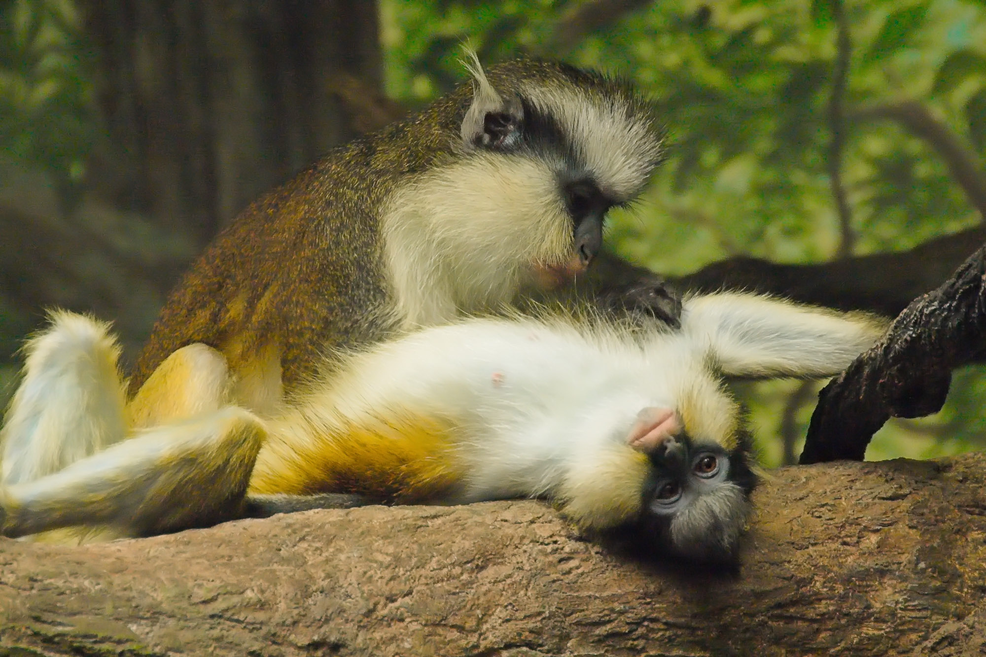 Grey's Crested Guenon grooming - Cincinnati Zoo and Botanical Garden, Ohio
