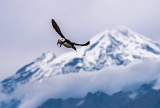 Horned Puffin carrying fish - Redoubt Volcano, Alaska