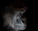 Western Lowland Gorilla - Franklin Park Zoo, Boston, Massachusetts