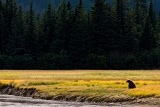 Coastal Brown Bear in meadow - Lake Clark National Park, Alaska