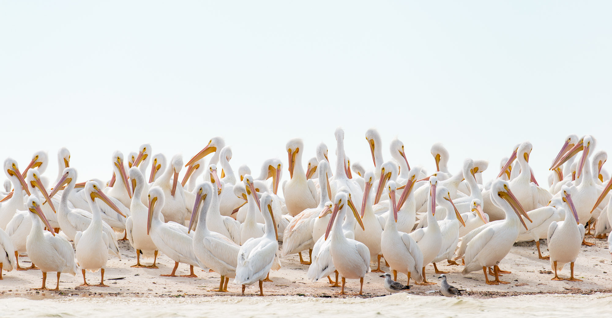 American White Pelicans - Indian Key, Everglades National Park, Florida