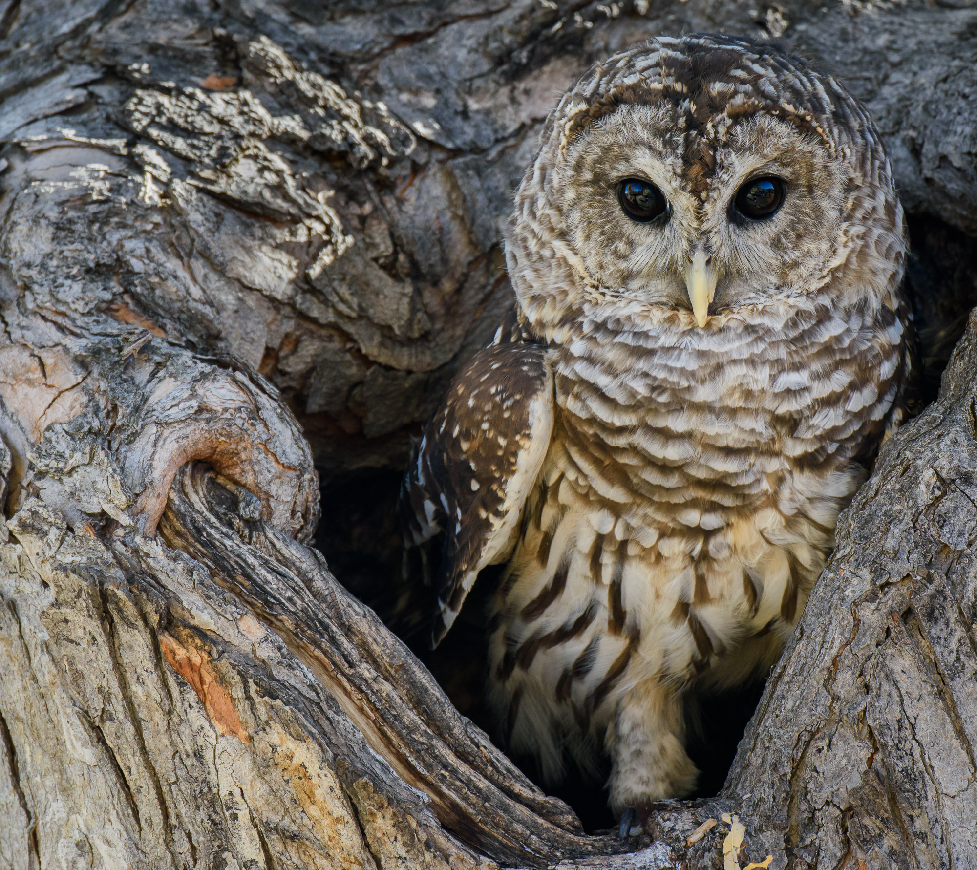 Barred Owl - Boulder, Colorado