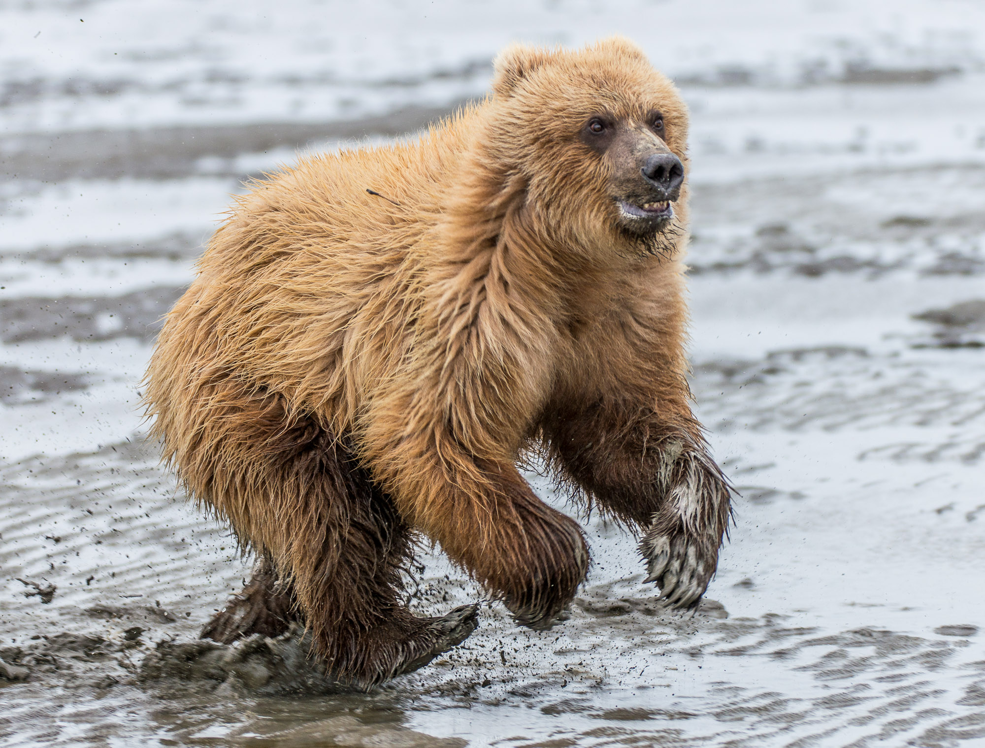 Running coastal brown bear cub - Lake Clark National Park, Alaska