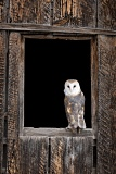 Barn Owl in window - Fort Collins, Colorado
