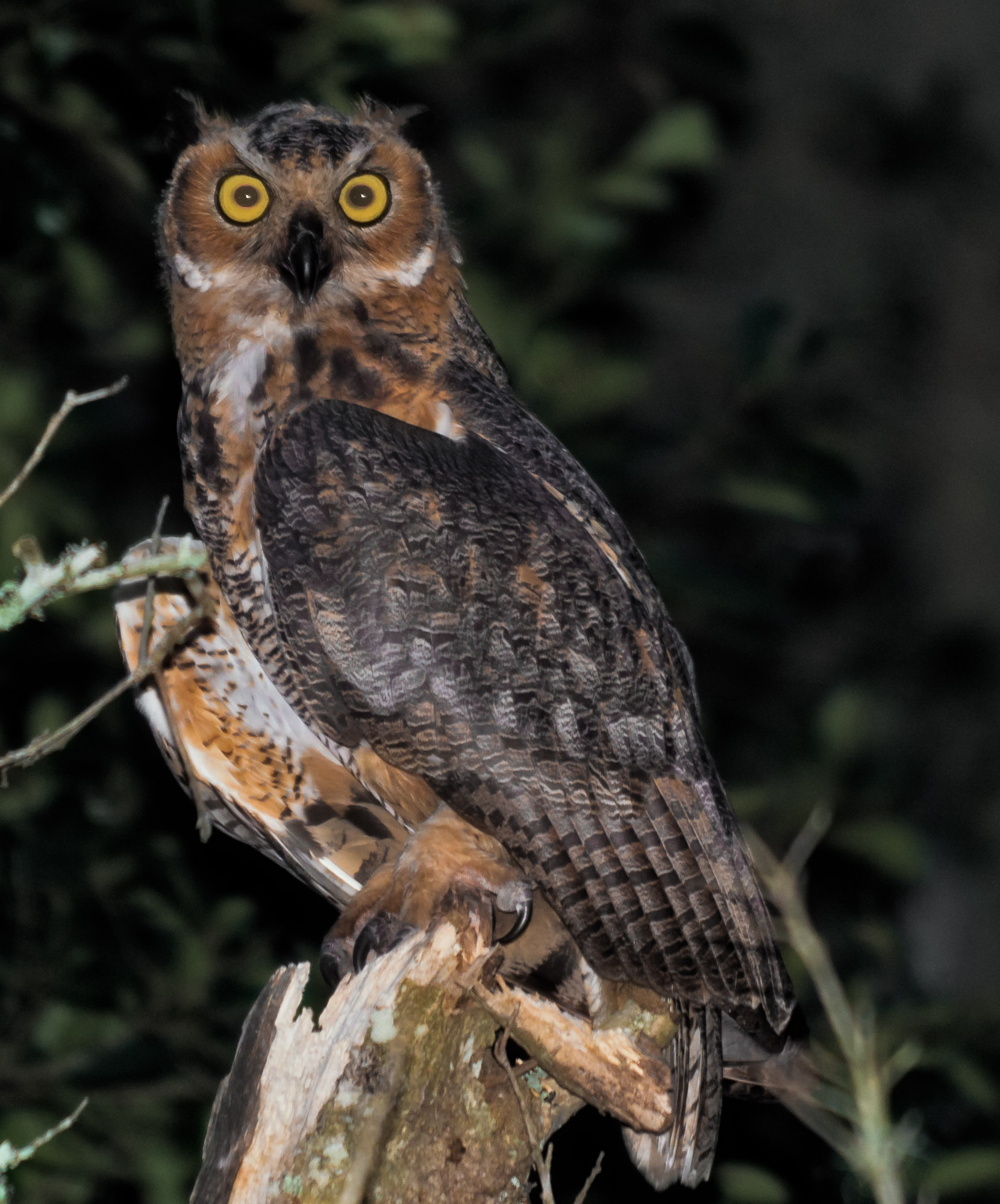 Great Horned Owl - Gainesville, Florida