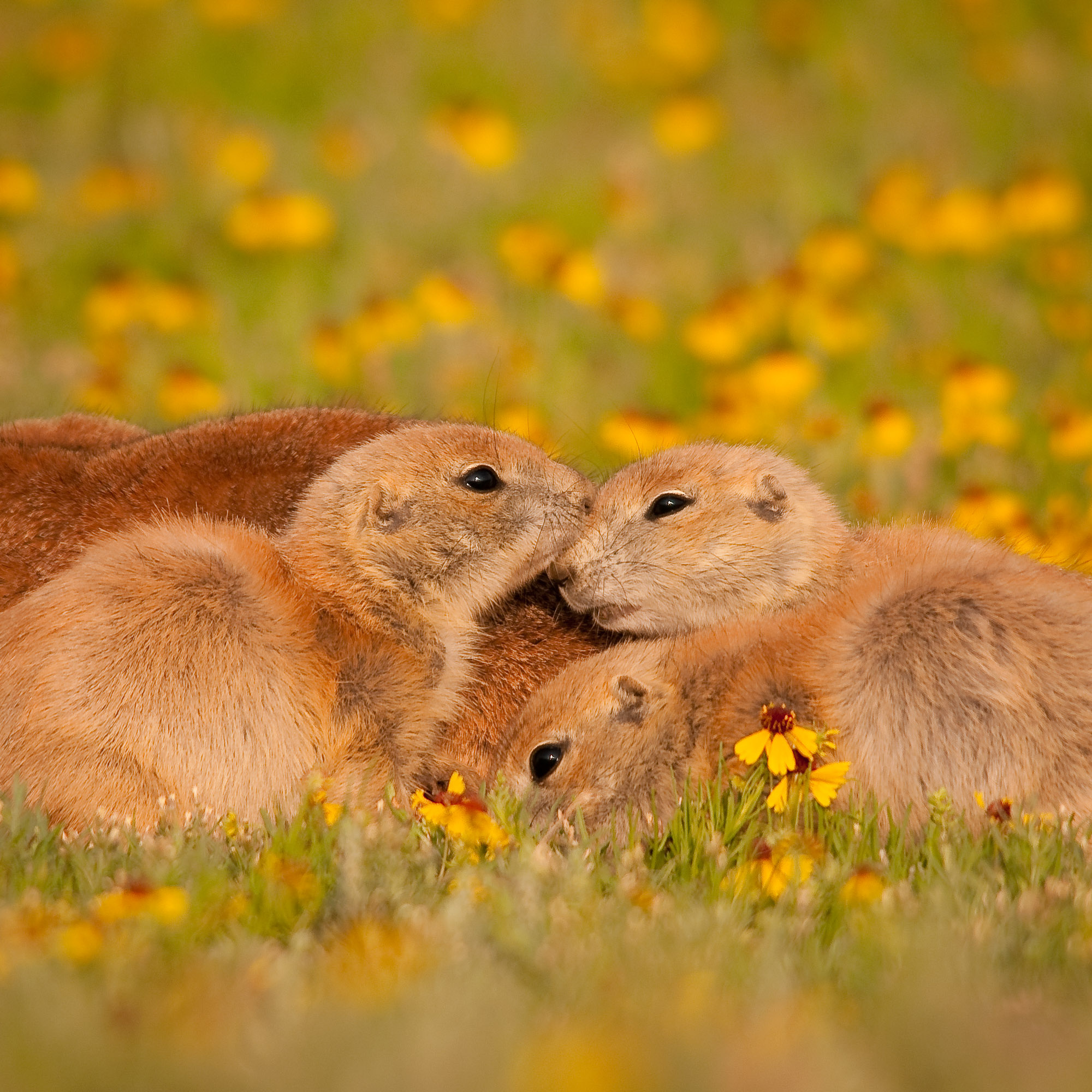 Black-tailed Prairie Dogs - Wichita Mountains Wildlife Refuge, Oklahoma