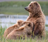 Coastal brown bear nursing cubs - Lake Clark National Park, Alaska