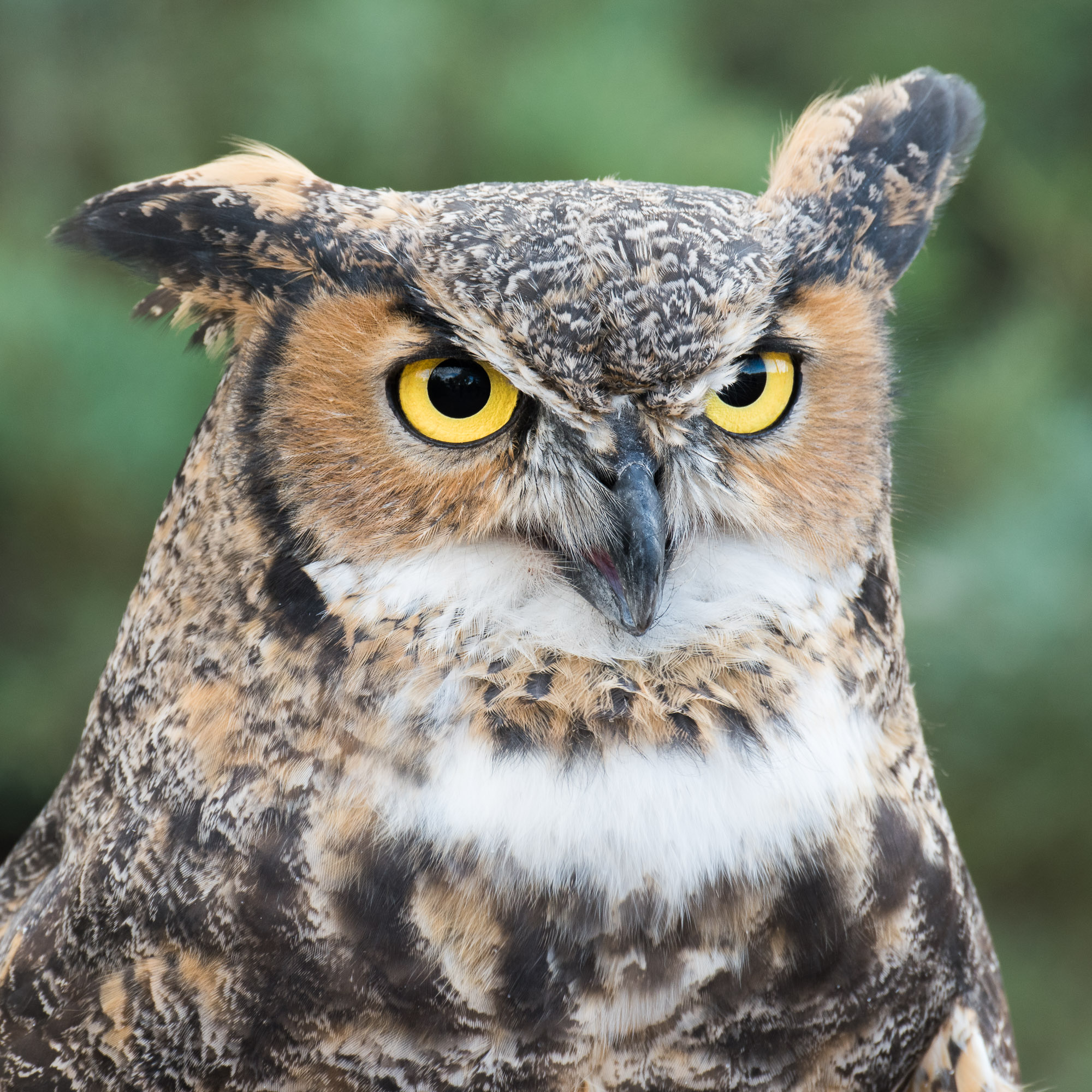 Great Horned Owl - Fort Collins, Colorado
