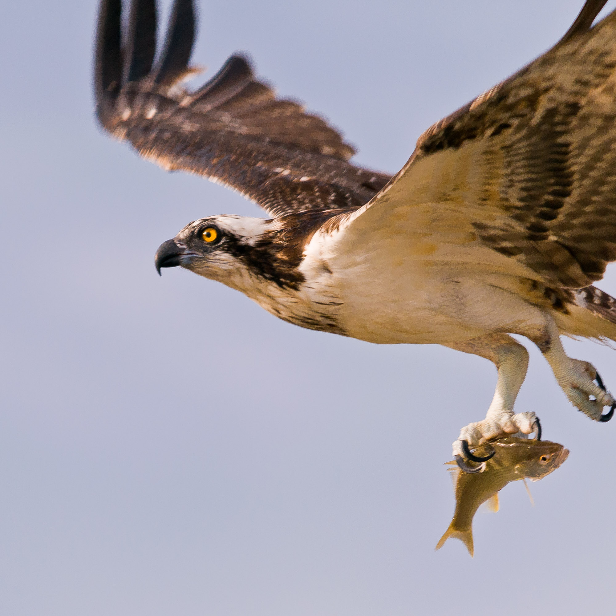 Osprey with fish - Bald Point State Park, Florida