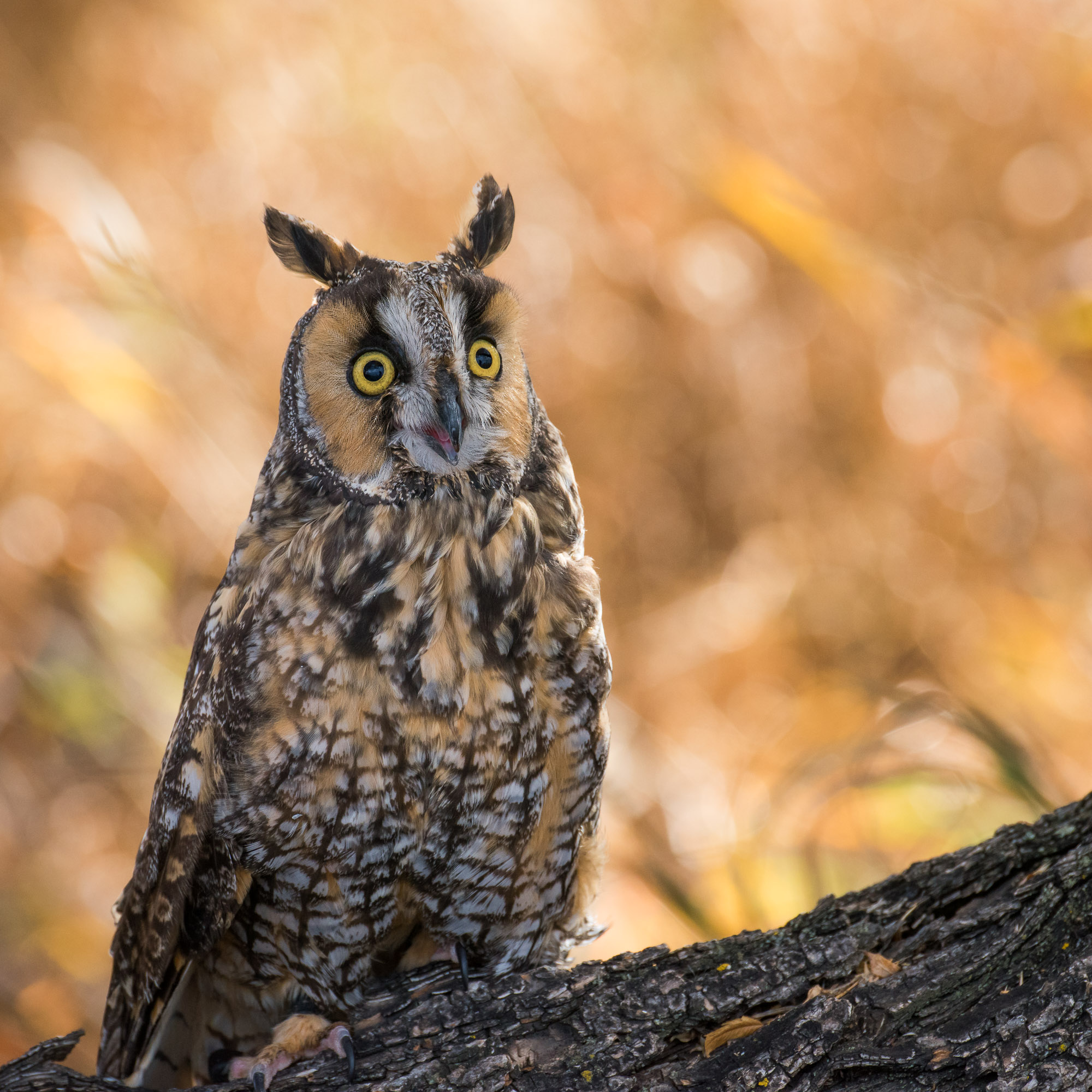 Long-eared Owl - Fort Collins, Colorado