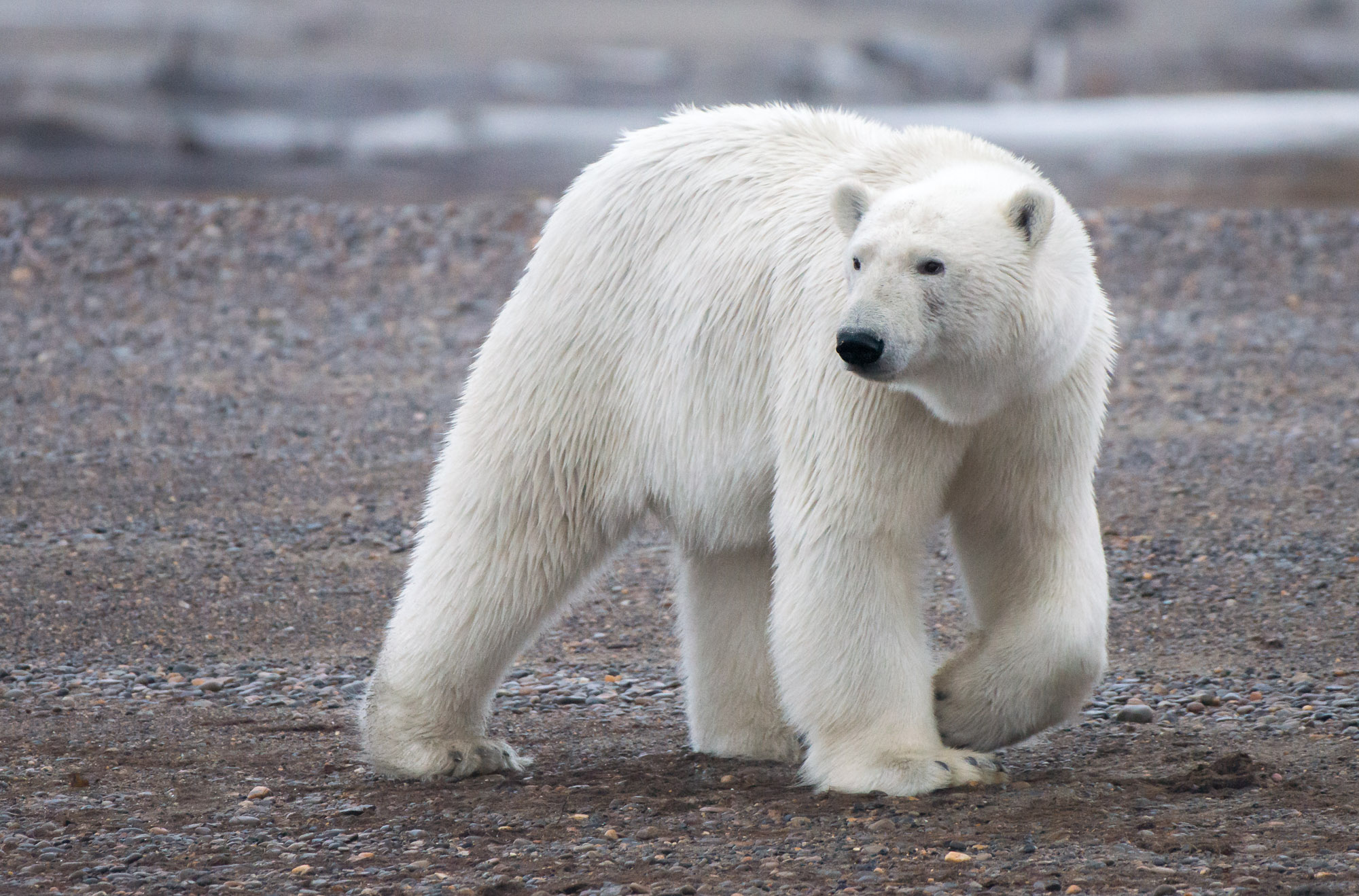 Polar Bear - Arctic National Wildlife Refuge, Alaska