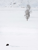 Lone bison feeding in snow-covered Lamar Valley - Yellowstone National Park, Wyoming
