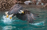 Bald Eagle catching fish - Kachemak Bay, Alaska