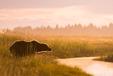 Coastal brown bear in morning light - Lake Clark National Park, Alaska