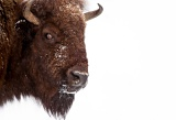 Headshot of bison in winter - Yellowstone National Park, Wyoming