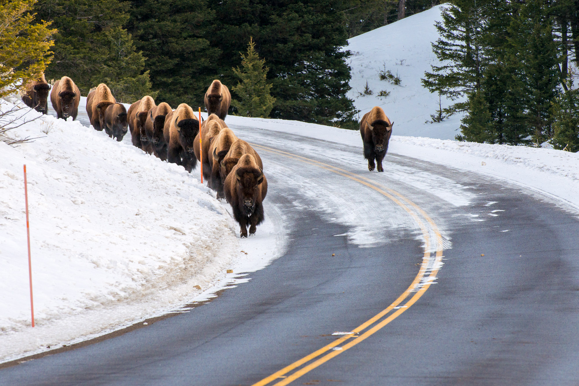 Herd of bison on road - Yellowstone National Park, Wyoming