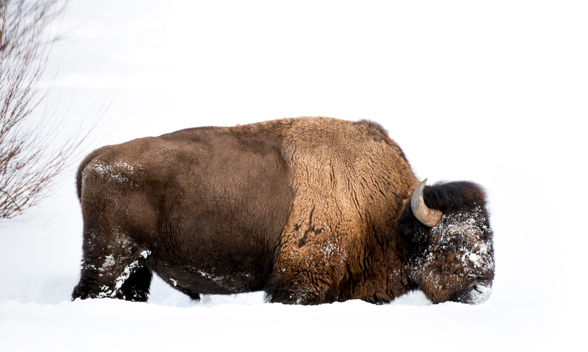 Forlorn bison feeding in snow - Yellowstone National Park, Wyoming