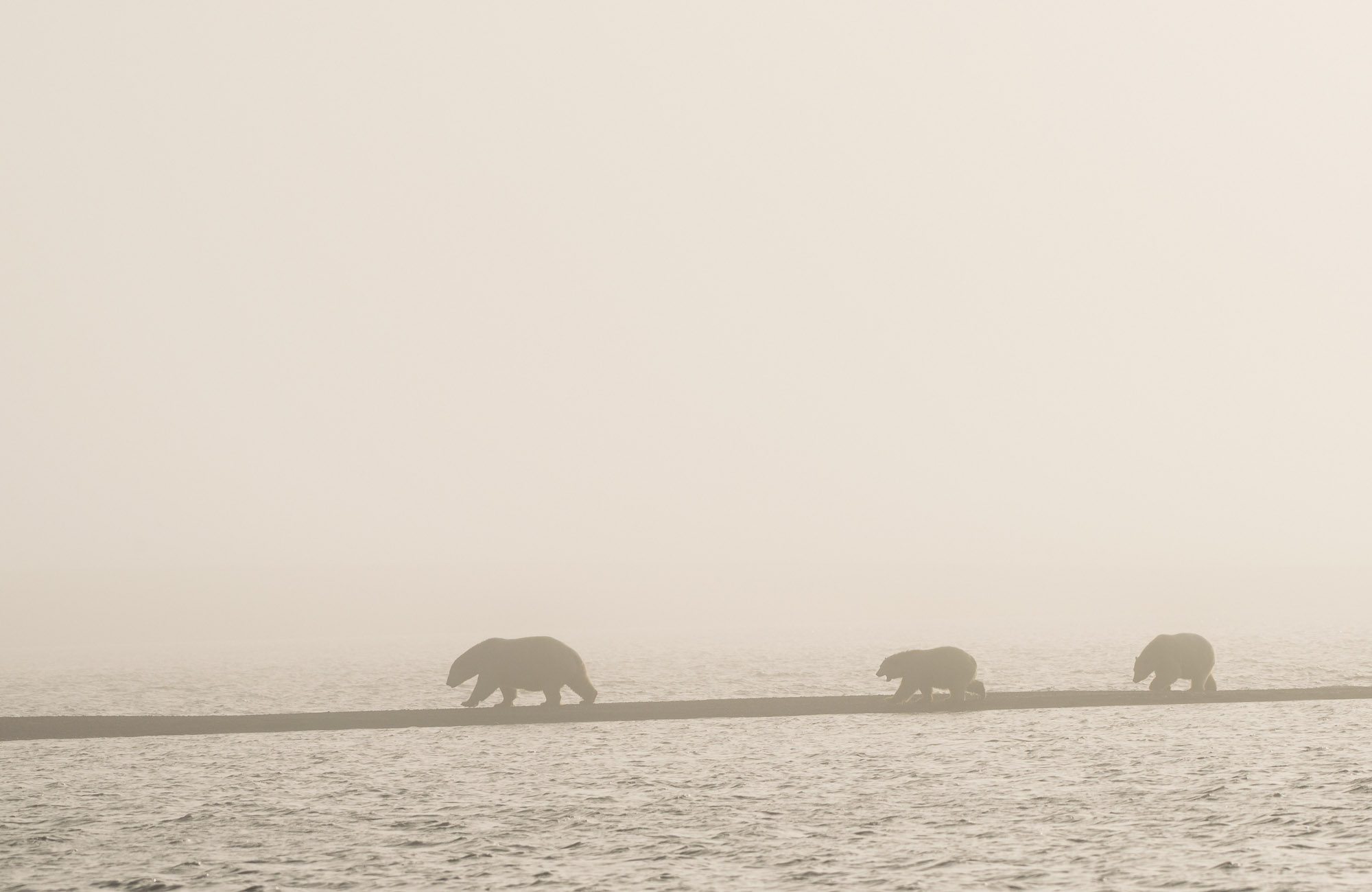 Polar Bear family in fog - Arctic National Wildlife Refuge, Alaska