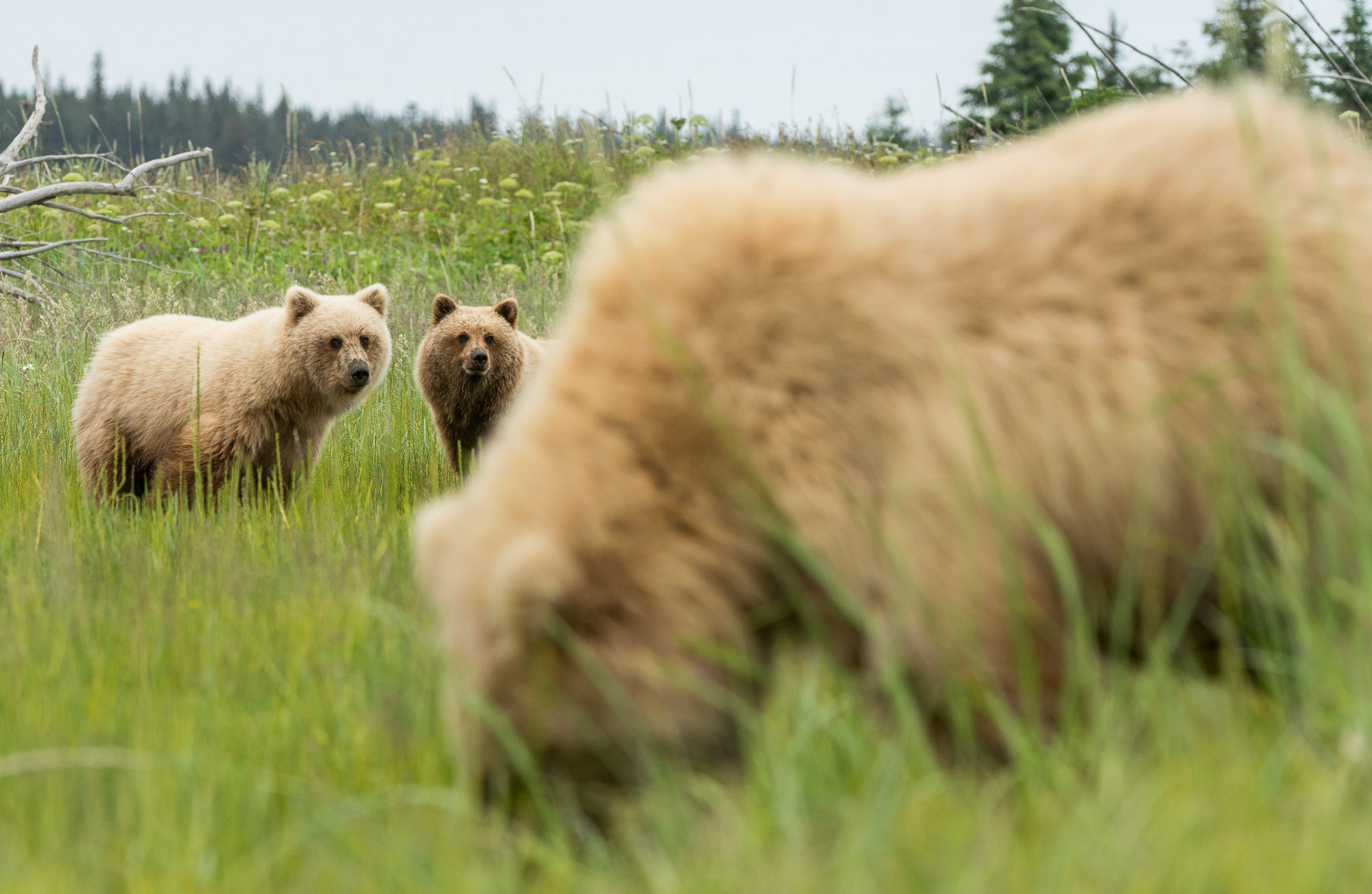 Coastal brown bears - Lake Clark National Park, Alaska