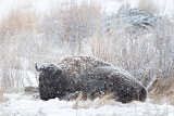 Bison in meadow during snowstorm - Yellowstone National Park, Wyoming