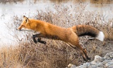 Red Fox leaping across stream - Northern Alaska