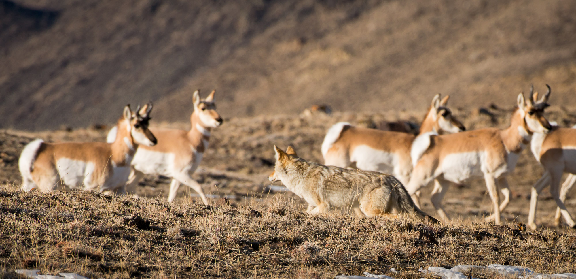 Coyote and Pronghorn - Yellowstone National Park, Wyoming