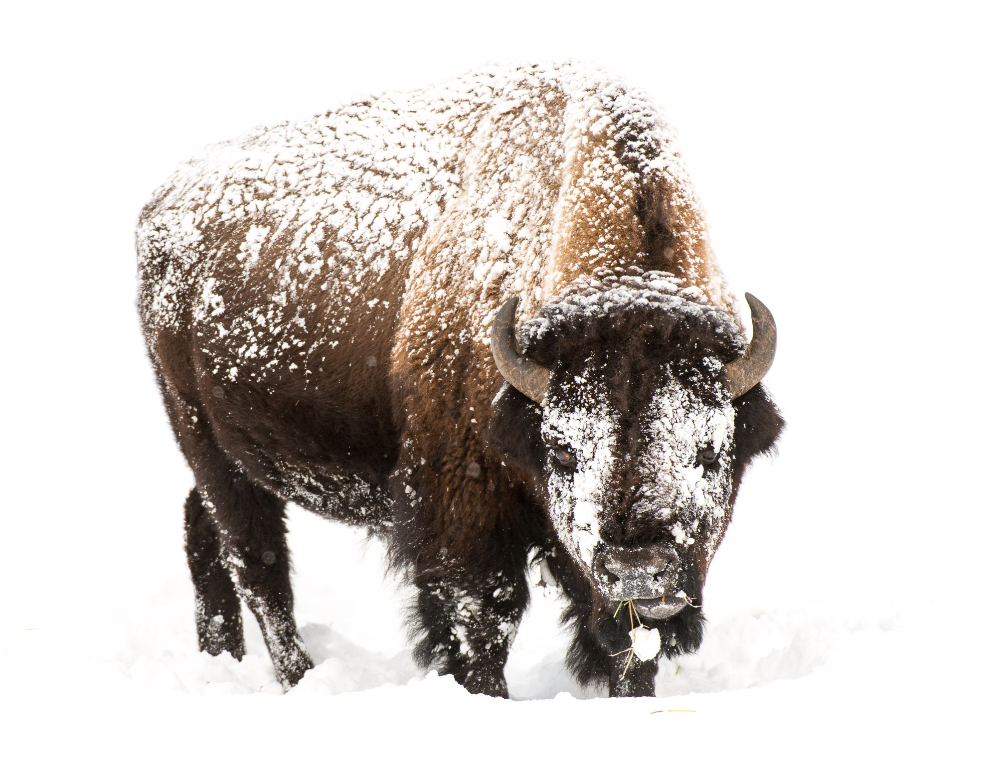 Bison feeding in snow - Yellowstone National Park, Wyoming