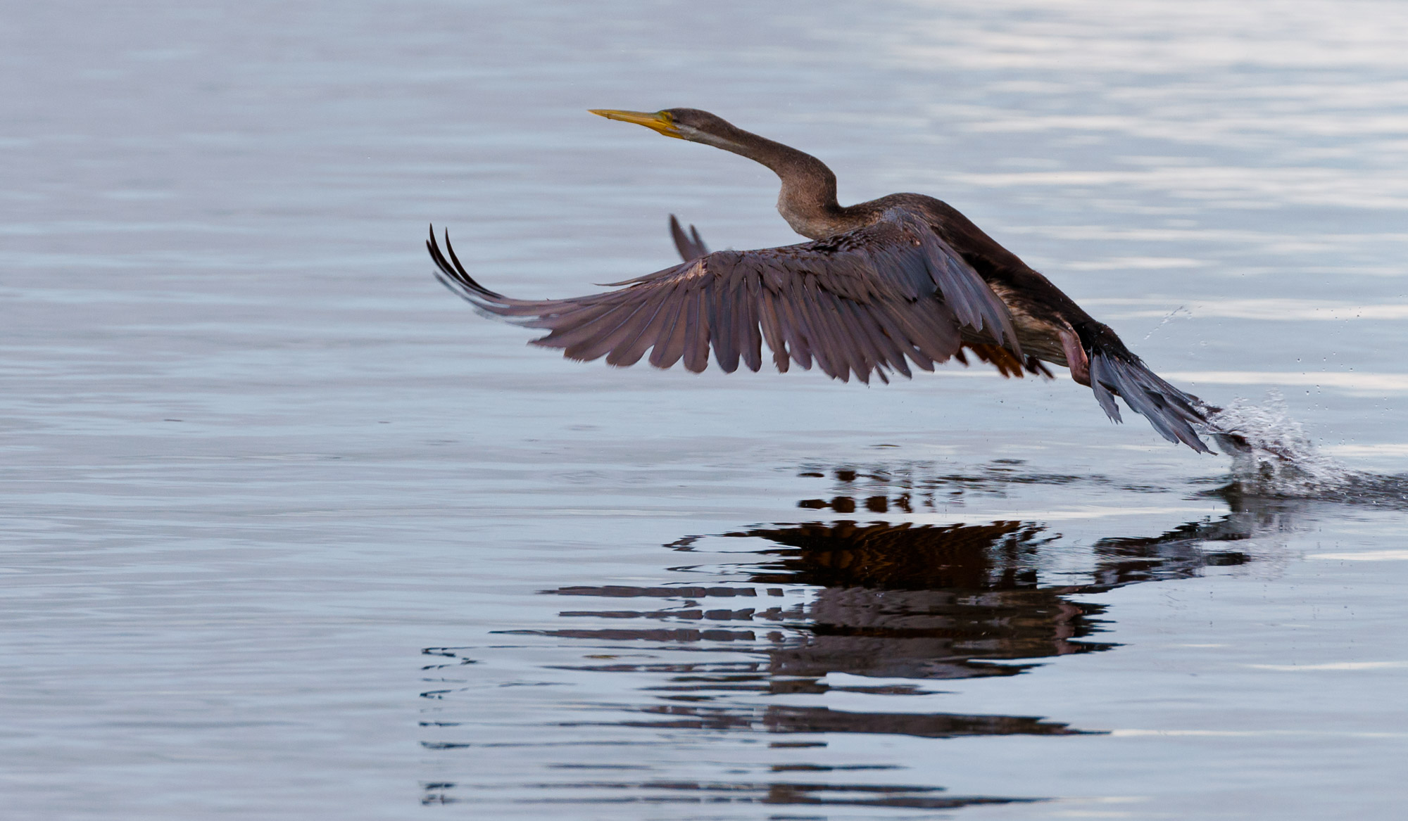 Australian Darter taking flight - Yellow Water Wetlands, Kakadu National Park, Northern Territory, Australia