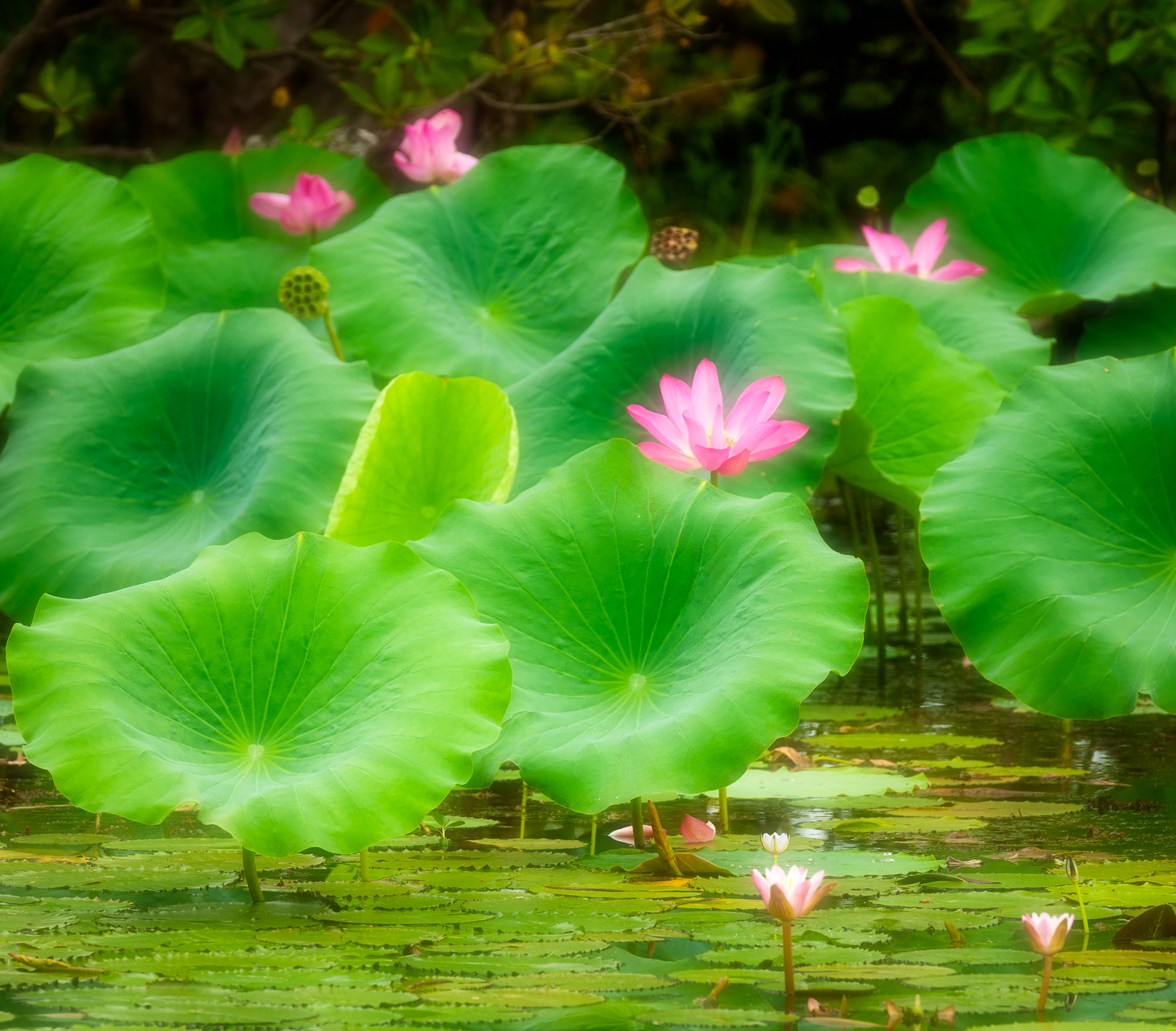 Flowering Lotus, Yellow Water Wetlands, Kakadu National Park, Australia