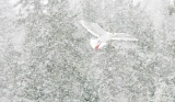 Glaucous Gull flying in snowstorm - Kachemak Bay, Alaska