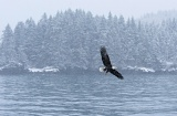 Bald Eagle flying in snowstorm - Kachemak Bay, Alaska
