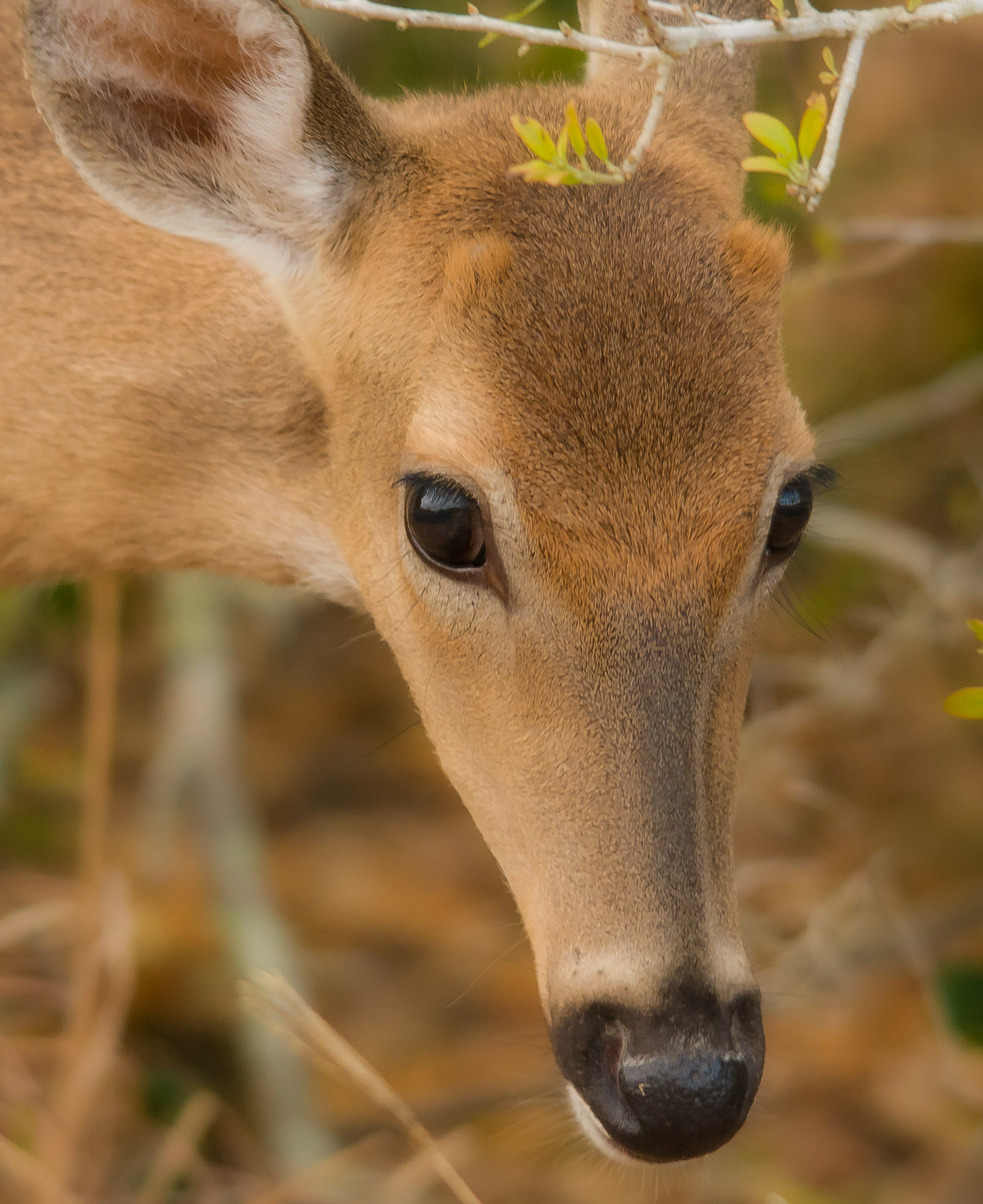 White-tailed Deer - Kissimmee Prairie Preserve State Park, Florida