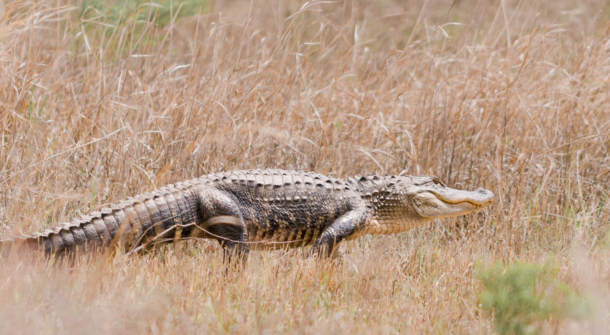 American Alligator during the dry season - Kissimmee Prairie Preserve State Park, Florida