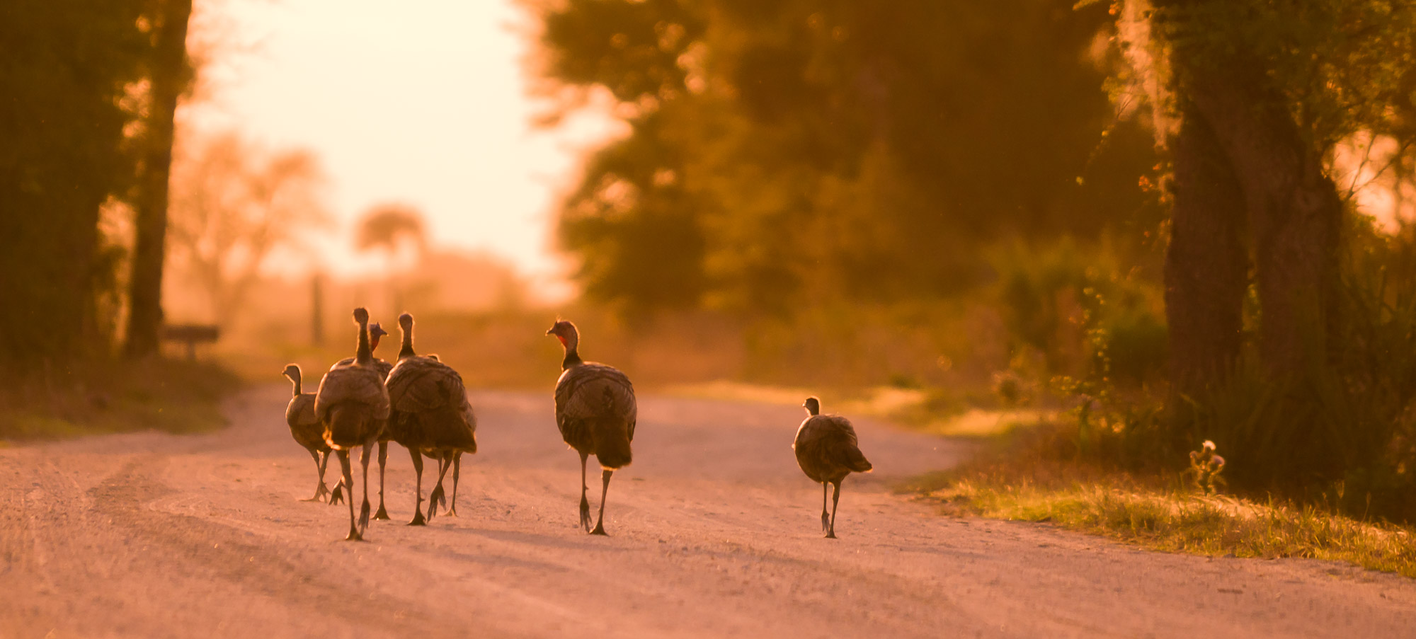 Turkeys on road, Kissimmee Prairie Preserve State Park, Florida
