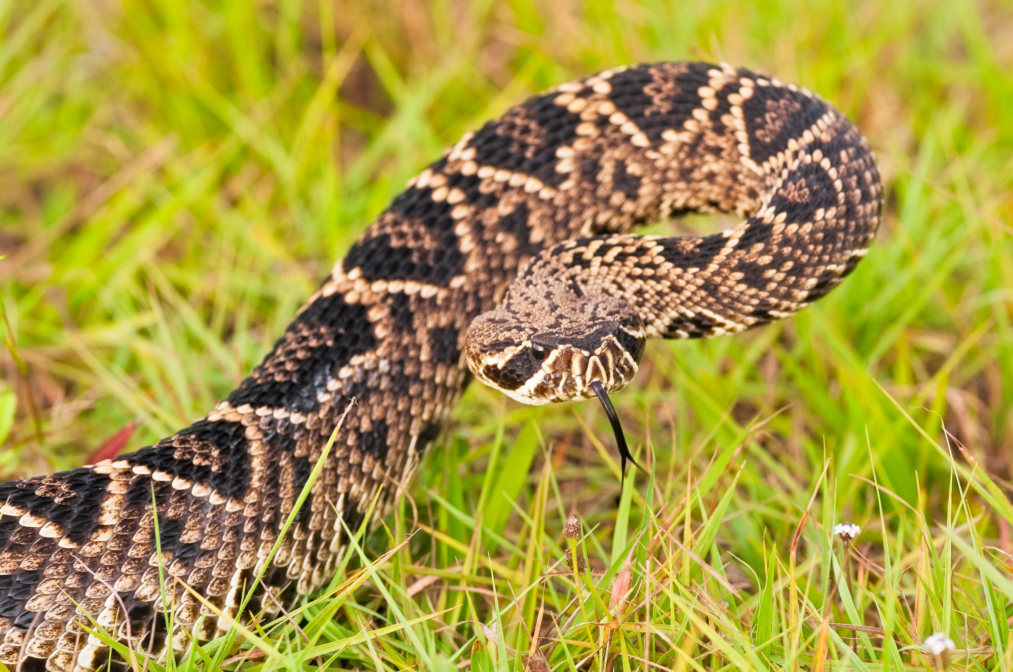 Eastern Diamondback Rattlesnake - Everglades National Park, Florida