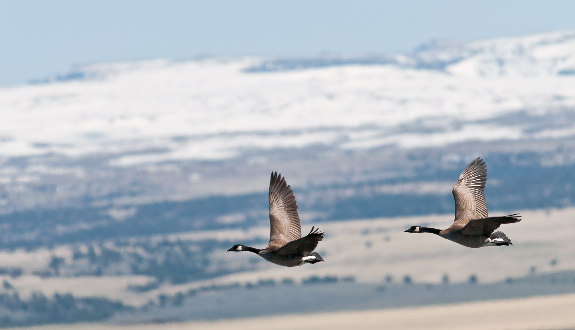 Canadian Geese - near Steens Mountain, Oregon