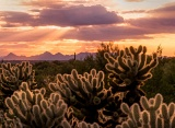Glowing cholla cactus - Saguaro National Park, Arizona