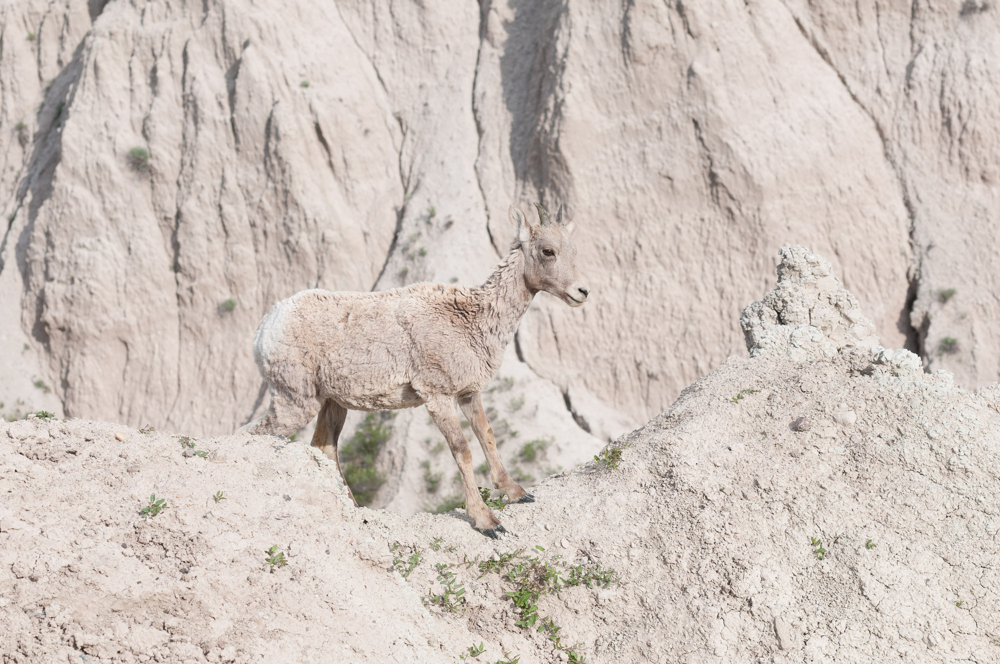 Well-camouflaged Bighorn Sheep lamb - Badlands National Park, South Dakota